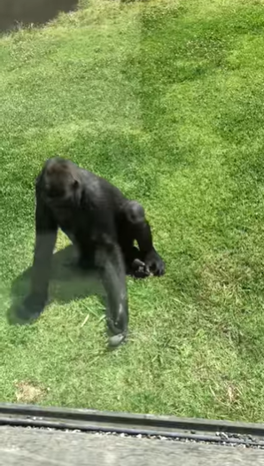 Gorilla Makes Sure Injured Bird Is Okay After It Gets Trapped In His Enclosure
