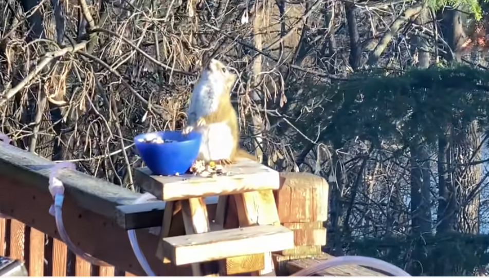 Squirrel Accidentally Gets Drunk After Eating Fermented Pears
