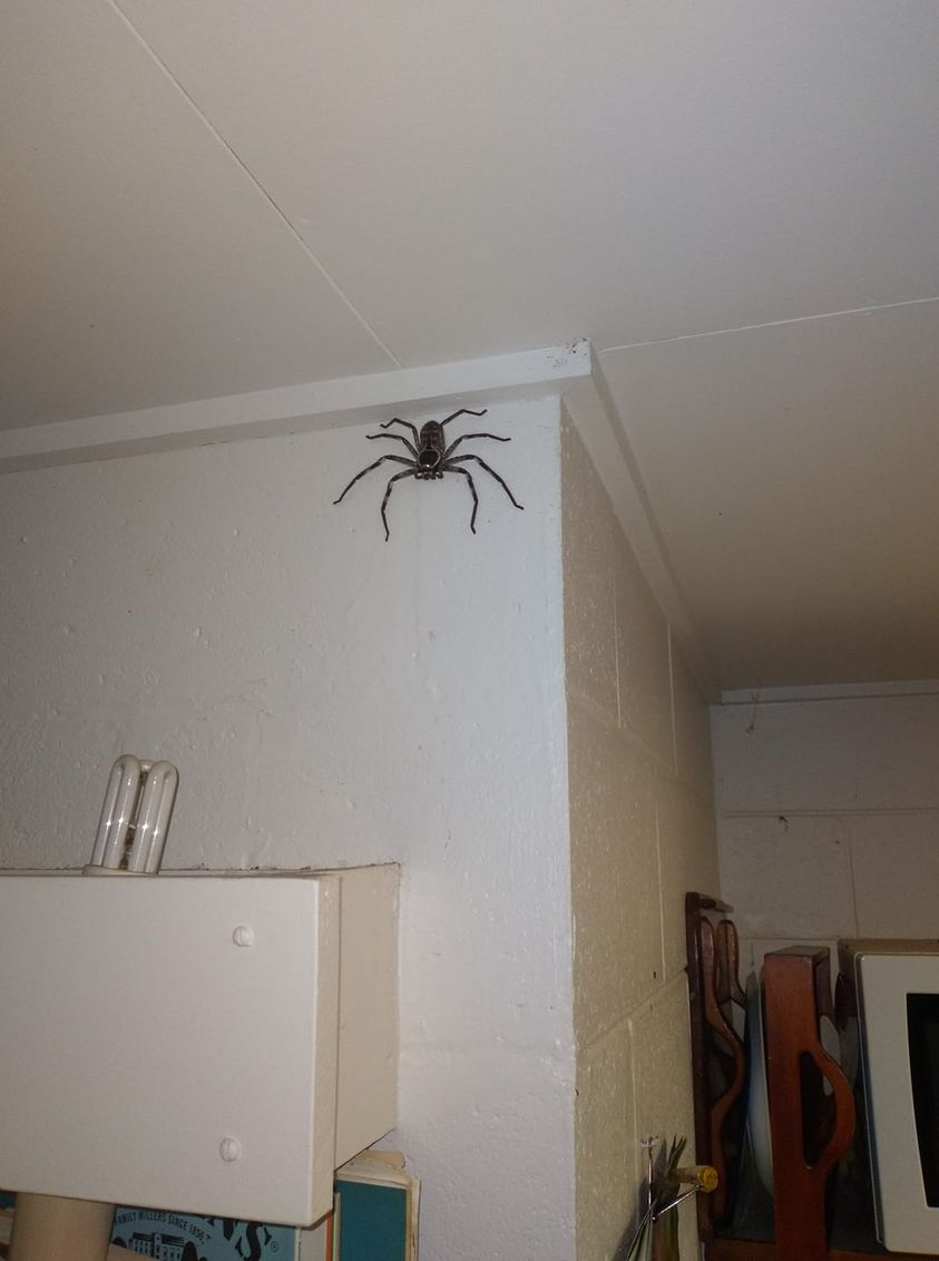 Man Lets A Plate-Sized Spider Live In His Home For A Year