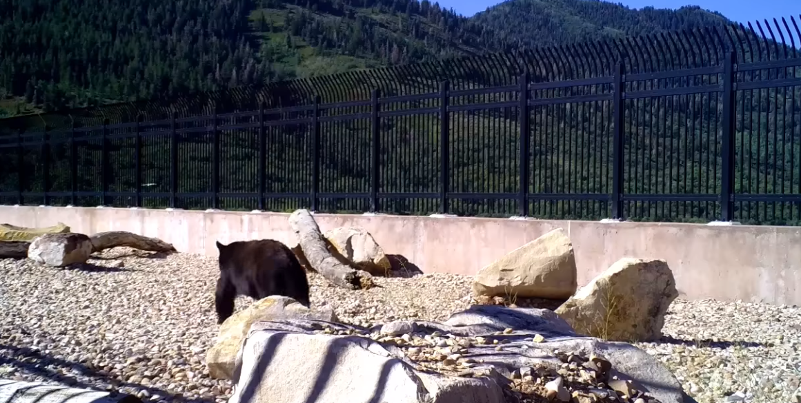 Wildlife Officials Are Thrilled To See Animals Using The Bears, Moose, and Bobcats Captured Using Utah's First Wildlife Bridge